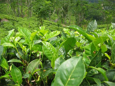 Чай: напиток и растение