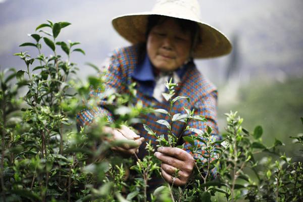 три сезона сбора китайского чая